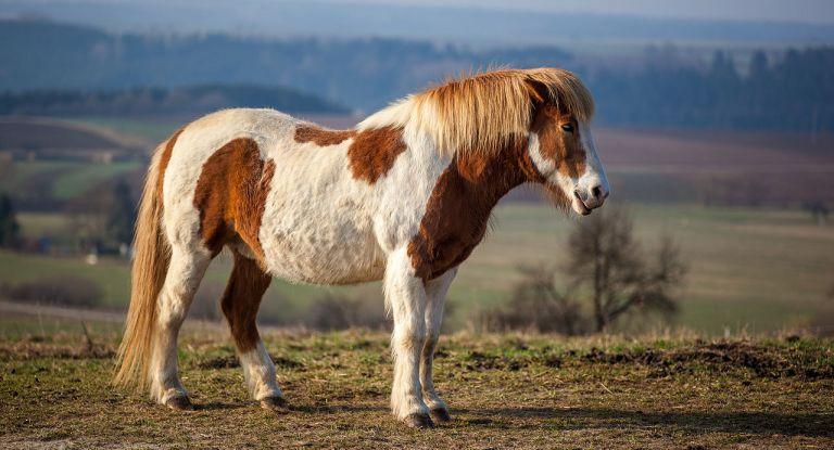 1280px-Icelandic_Horse_MichaD