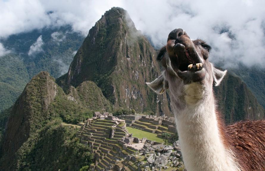A llama photobombs a tourist's photo